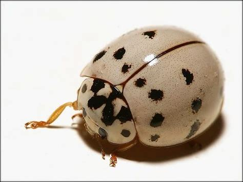 albino ladybug...It's not albino, it's just a different ...