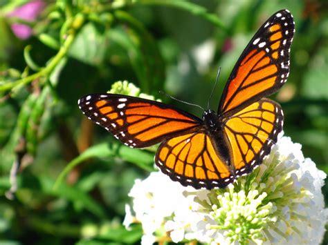 Alerta por la disminución de la mariposa monarca, Noticias ...
