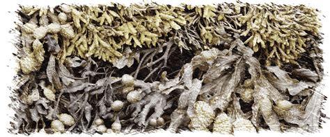 Alga Fucus: activa tu metabolismo