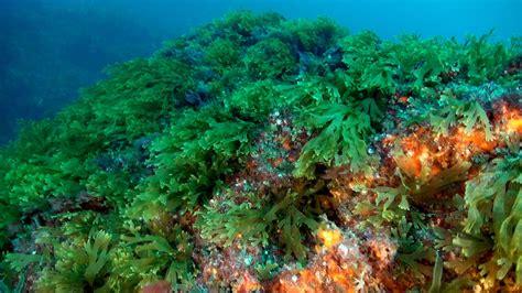 Algas marinas: nombres, características, beneficios y más
