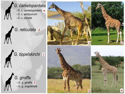 ¿Alguien sabe cuantas especies de jirafas hay en el mundo?