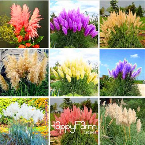 Aliexpress.com : Buy New Seeds 2016!Pampas Grass Seed ...