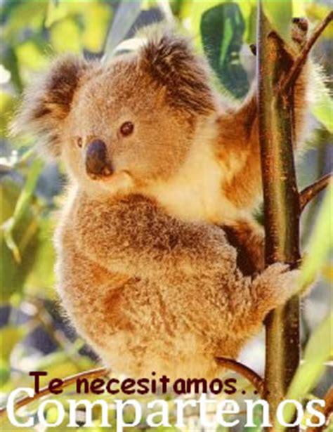 Alimentación de los koalas » KOALAPEDIA