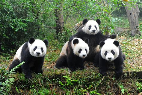 All About Animal Wildlife: Giant Panda Information and Images