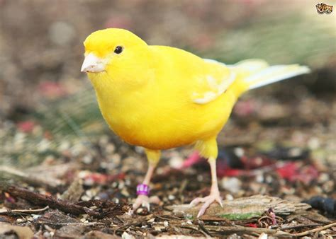 All About The Canary | Pets4Homes