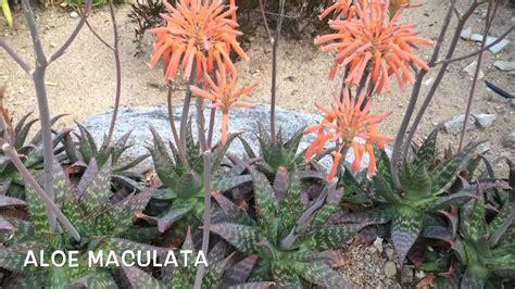 Aloe maculata. Garden Center online Costa Brava   Girona ...