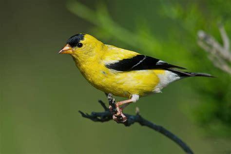 American Goldfinch   Audubon Field Guide