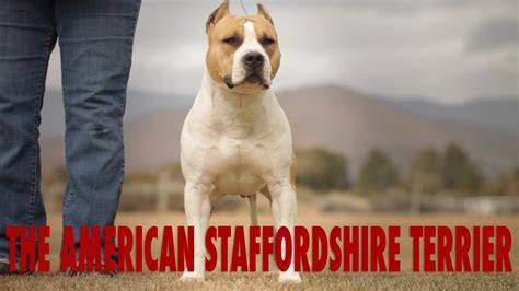 AMERICAN STAFFORDSHIRE TERRIER   THE CIVILIZED PIT BULL ...