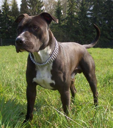 Amerikansk Staffordshire Terrier | Billeder og beskrivelse ...