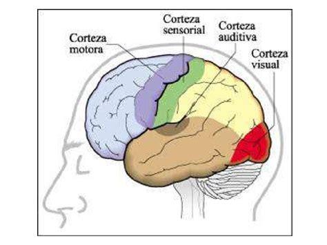 Anatomía: Cerebro
