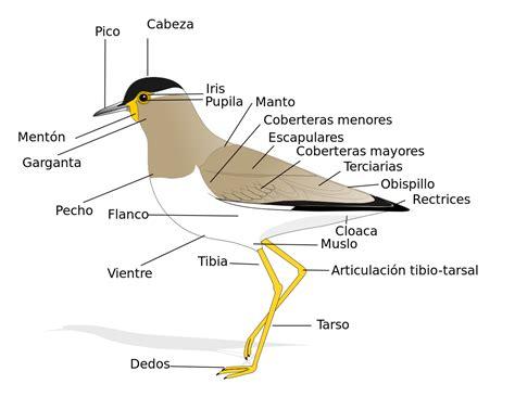 Anatomía de las aves - Wikipedia, la enciclopedia libre
