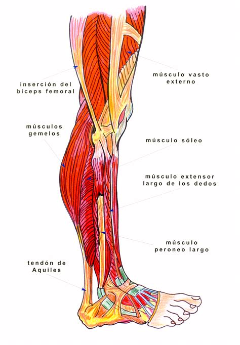 Anatomía De Los Músculos De Las Piernas: La Guía ...