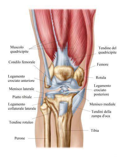 Anatomía de rodilla, imagenes, articulacion, ligamentos ...
