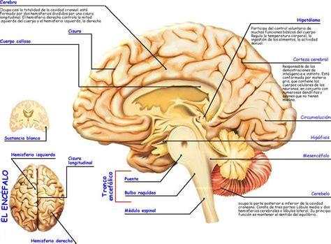 Anatomia del cerebro. | Sistema nervioso | Pinterest | El ...