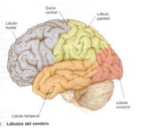 Anatomía del Sistema Nervioso   Monografias.com