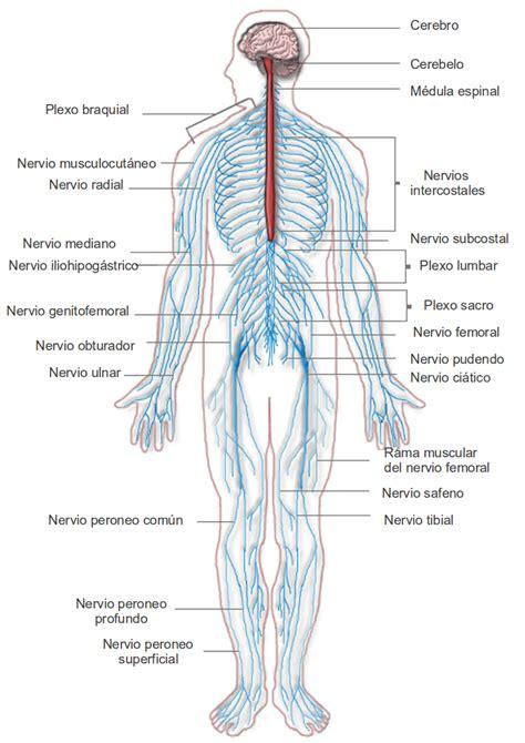 Anatomía del sistema nervioso y los órganos de los ...