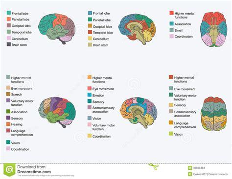 Anatomia Do Cérebro Humano, Ilustração do Vetor - Imagem ...