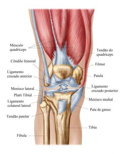 Anatomia do joelho, ligamentos, articulação, músculos e ...