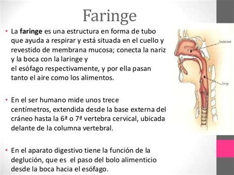 Anatomía & Fisiología I   Aparato Digestivo   Esófago y ...