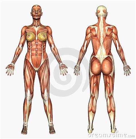 Anatomía humana - sistema de músculo de la mujer ...