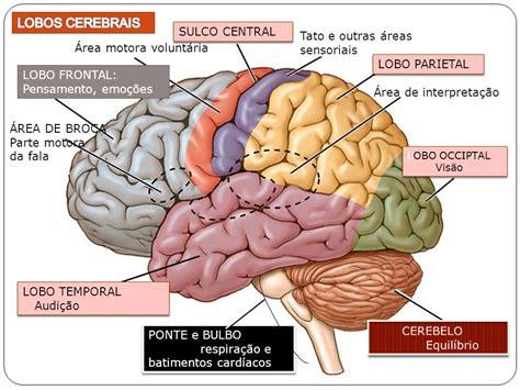 Anatomia on line: Lobos cerebrais