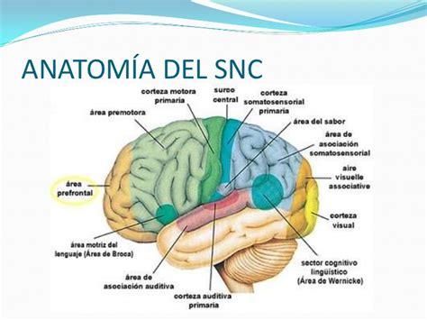 Anatomía y embriología del snc