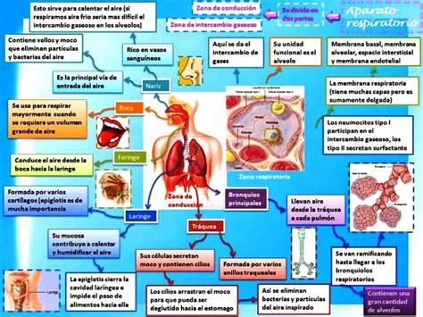 Anatomia Y Fisiologia Del Aparato Respiratorio Humano ...