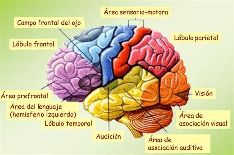 Anatomía y Fisiología del Cerebro Humano - Uninfor