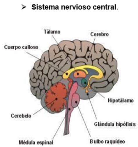 ANATOMÍA Y FISIOLOGÍA HUMANA 1: SISTEMA NERVIOSO