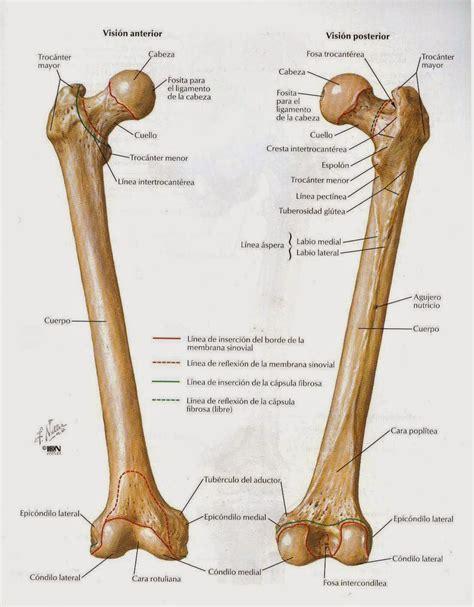 anatomíacaderayrodilla: ANATOMIA DE LA RODILLA I: osteología.