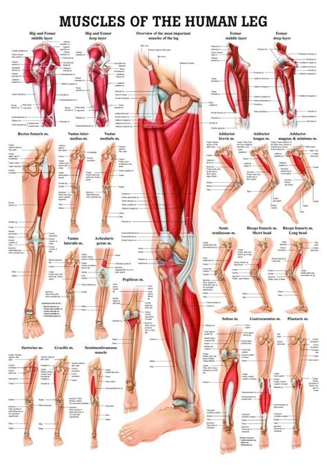anatomy of the leg muscles | Anatomy for Artists - Lower ...