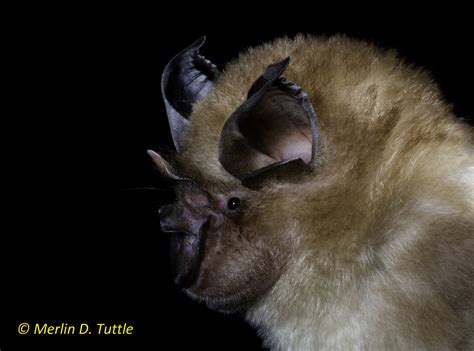 Angkor Wat and Bats   Merlin Tuttle s Bat Conservation