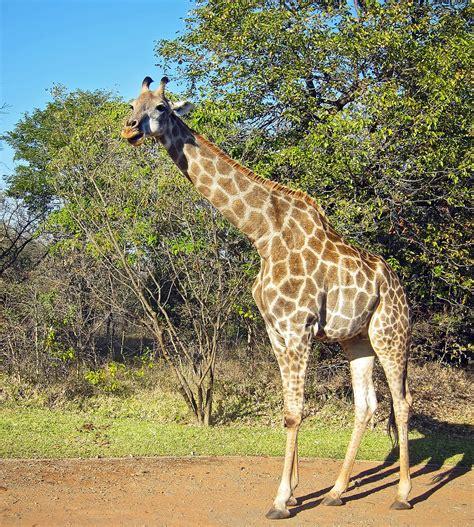 Angolan giraffe - Wikipedia