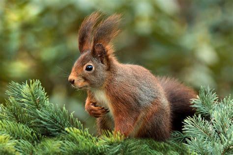 animal, animaux sauvages, écureuil   images gratuites et ...