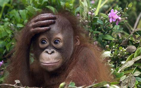 Animal wallpaper of a orangutan baby | HD Animals Wallpapers
