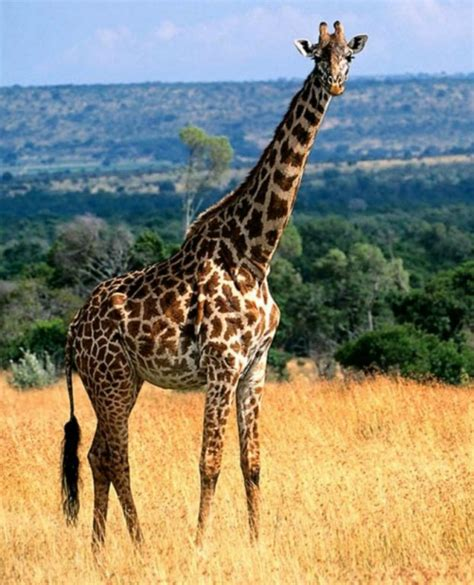 Animales Jirafas Related Keywords - Animales Jirafas Long ...