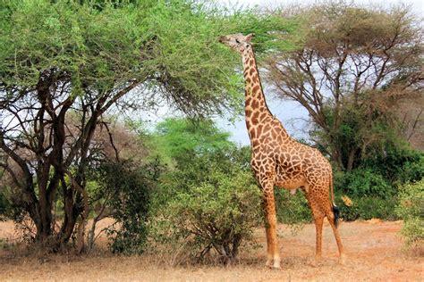 Animales mamiferos: La jirafa