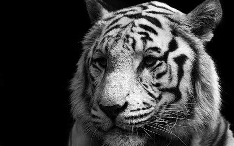 Animales tigres en blanco y negro tigre blanco fondo negro ...