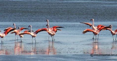 Animales y Plantas de Perú: Parihuana o Flamenco ...