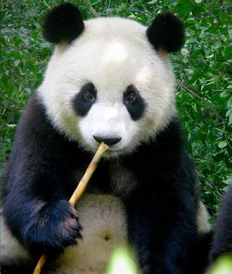 Animals images Panda bear HD wallpaper and background ...