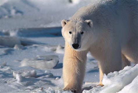 Animals of Greenland   whales, seals, polar bears   [Visit ...