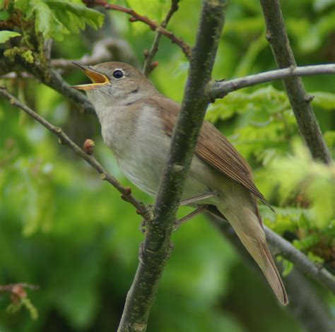 Animated Nightingale Singing | www.imgkid.com   The Image ...