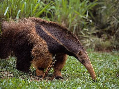 Anteater   Pictures, Diet, Breeding, Life Cycle, Facts ...