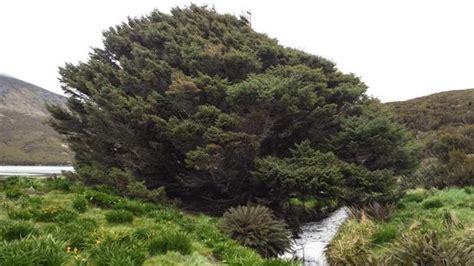 Antropoceno: El árbol más solitario del mundo tiene las ...