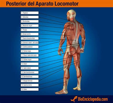 Aparato locomotor | Cuerpo Humano | Pinterest | Aparato ...