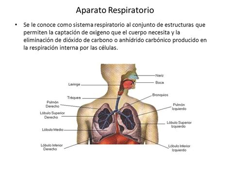 Aparato Respiratorio Se le conoce como sistema ...