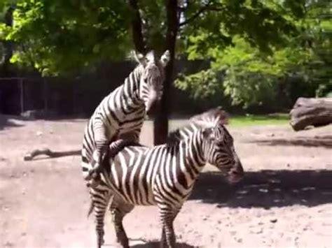 Apareamiento de las Cebras Sorprendente!! - YouTube