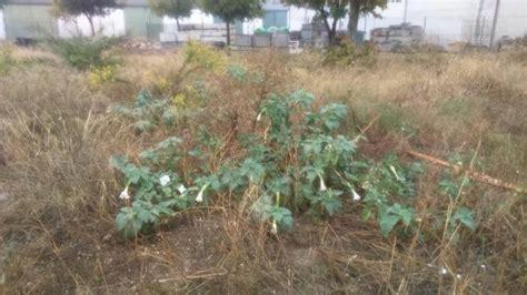 Aparecen plantas de burundanga en un solar público de ...
