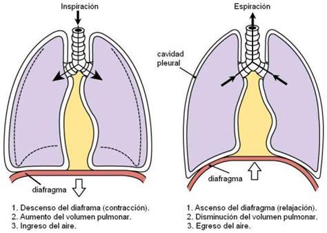 APOYO BIOLOGÍA: 2° año: Hematosis: Intercambio de gases