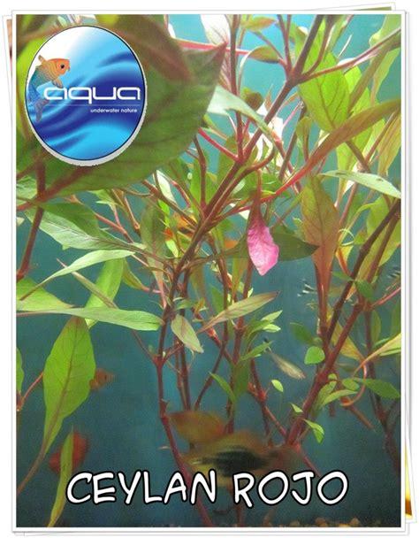 Aqua Puerto Montt   Plantas para estanque